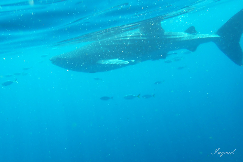 A Whale Shark!  by ingrid01