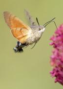 4th Oct 2020 - Hummingbird Hawkmoth