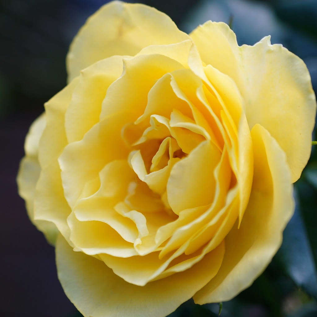 sunshine in a rose by quietpurplehaze