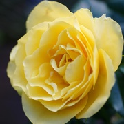 4th Oct 2020 - sunshine in a rose