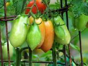 4th Oct 2020 - Plum Tomatoes