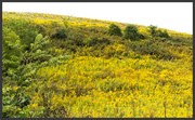4th Oct 2020 - A field of goldenrod