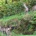 3 naughty deer.