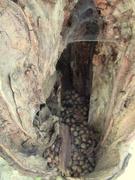 4th Oct 2020 - A tree cavity full of acorns