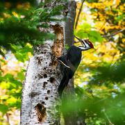 2nd Oct 2020 - Pileated woodpecker
