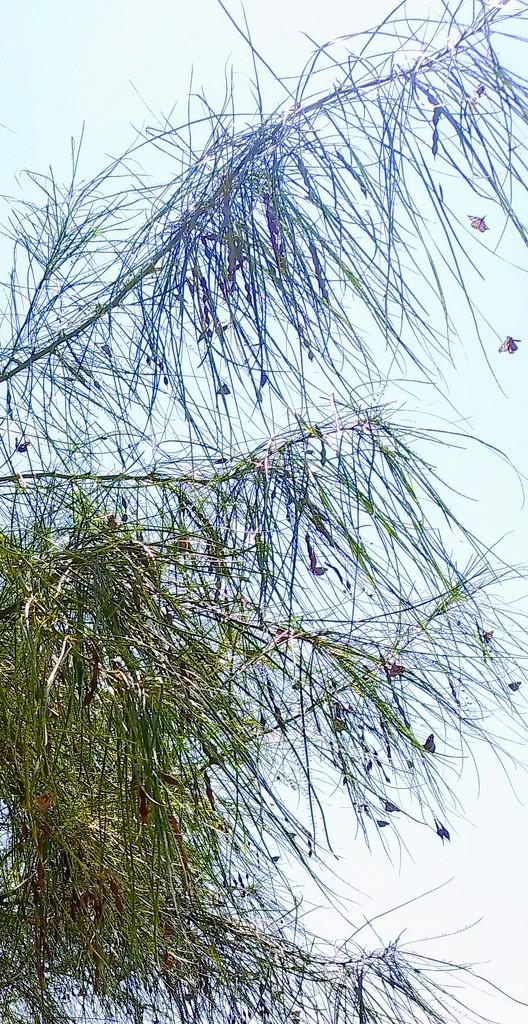 Butterfly Bush by missjenn