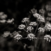 Umbellifers... by vignouse