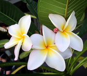 4th Oct 2020 - Plumeria