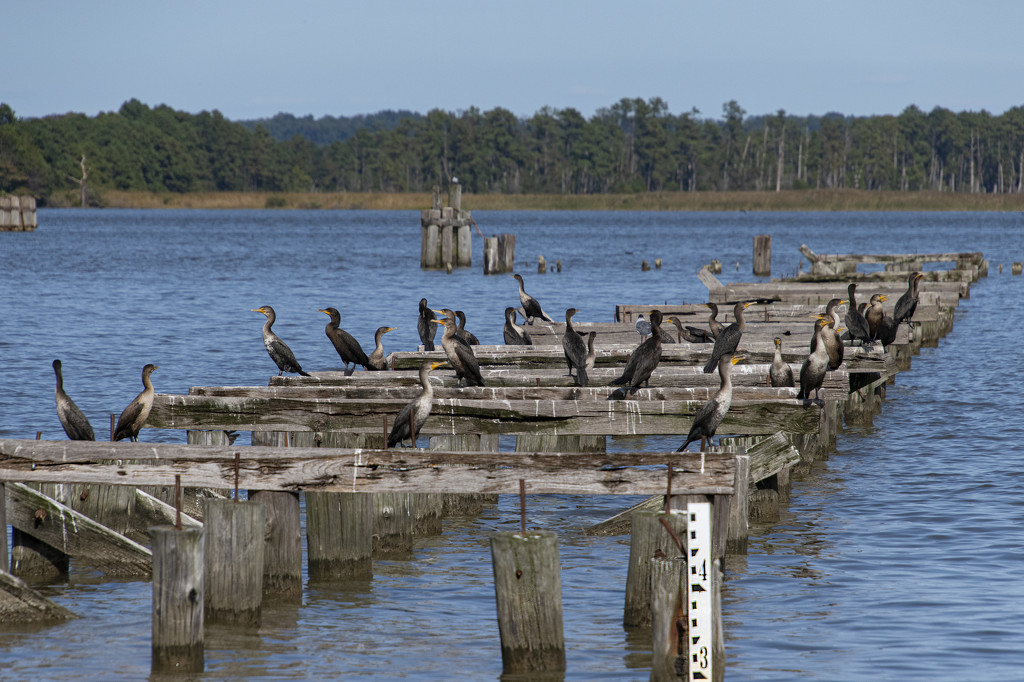 Cormorants In Abundance by timerskine
