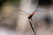 5th Oct 2020 - Dragonfly