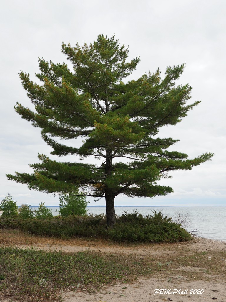 Lone Pine by selkie
