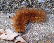 3rd Sep 2020 - Woolly Bear