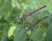 4th Sep 2020 - Dragonfly