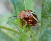 7th Sep 2020 - False Potato Bug