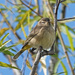 Migrating Palm Warbler by annepann
