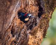 4th Oct 2020 - Acorn Woodpecker peeking out