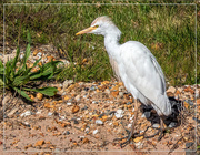 5th Oct 2020 - Egret on the side of the road