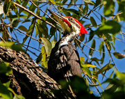 5th Oct 2020 - Pileated Woodpecker