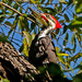 Pileated Woodpecker by tosee