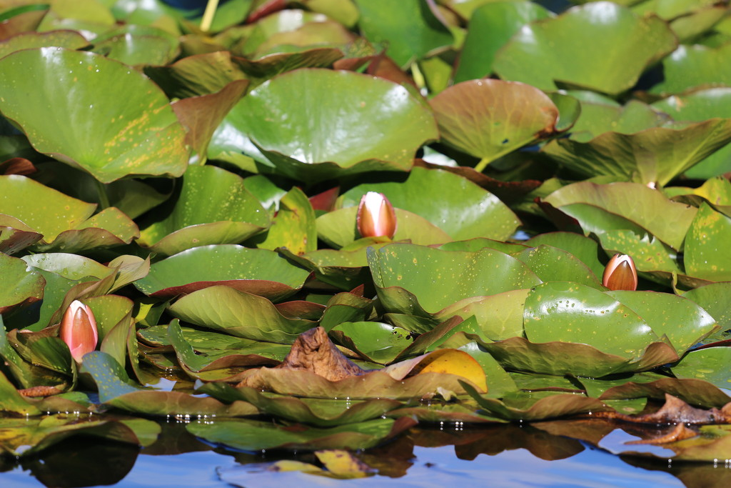 A Patch Of Lily Pads by motherjane