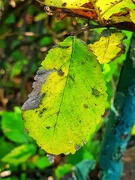 5th Oct 2020 - Last of the green leaves