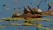 5th Oct 2020 - painted turtles