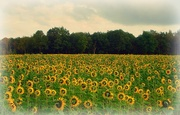 6th Oct 2020 - sunflowers 2011-10-06