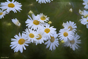 3rd Oct 2020 - Crazy Daisies