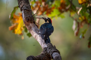 5th Oct 2020 - Another Acorn Woodpecker
