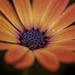 African Daisy by nickspicsnz