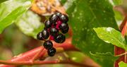 5th Oct 2020 - American Pokeweed Berries!