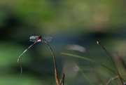 6th Oct 2020 - Dragonfly
