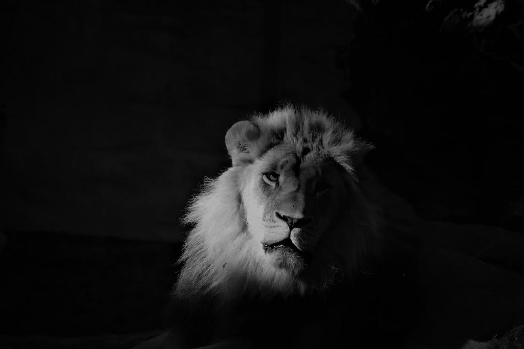 Lion In The Dark by randy23