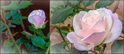 6th Oct 2020 - The first rose