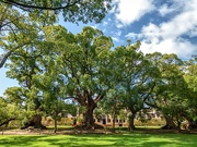 6th Oct 2020 - All five Camphor trees