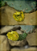 6th Oct 2020 - PRICKLY PEARS – A FLOWER