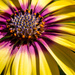Osteospermum by yorkshirekiwi