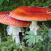 More fly agaric