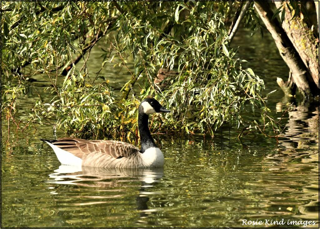 Canada Goose by rosiekind