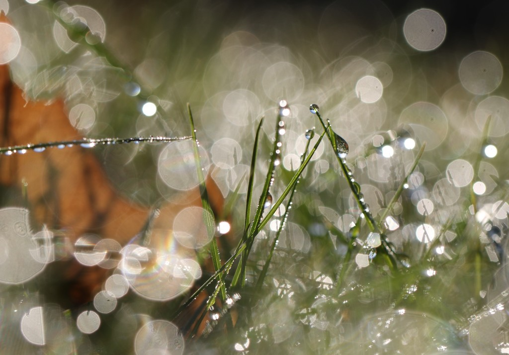 Heavy Dew by lynnz