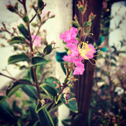 6th Oct 2020 - Crape Myrtle