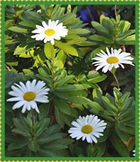 6th Oct 2020 - Shasta daisies are out.....