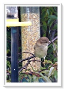 7th Oct 2020 - Young sparrow