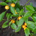 calamondin tree in a pot