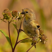 6th Oct 2020 - American goldfinch