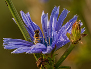 6th Oct 2020 - chicory and hoverfly
