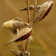 6th Oct 2020 - milkweed seeds