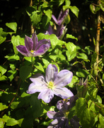 5th Oct 2020 - clematis