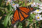 6th Oct 2020 - Monarch