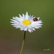 7th Oct 2020 - Ladybird Luck